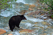 American black bear (Ursus americanus)  sow crossing creek (Ursus americanus)<br />Banff National Park<br />Alberta<br />Canada