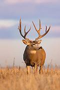 Mule deer Mule deer buck during the autumn rut