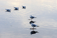 Norway, Stavanger, Hafrsfjord. Black headed Gulls in winter plumage.