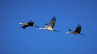 Sandhill Cranes in Flight. Morning at Bitter Lake National Wildlife Refuge near Roswell, New Mexico. Image taken with a Nikon D4 and 300 mm f/2.8 VR lens (ISO 100, 300 mm, f/4, 1/2000 sec)