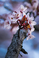 Blooming cherry blossom flowers show that Spring is upon us as the plants and flowers begin to come alive once again.