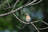 This female eastern bluebird has caught some food and then landed on a branch while waiting to take it back to the chicks.