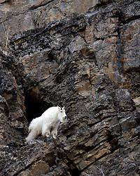 Mountain Goat, cliff, Snake River Range, Alpine, WyomingMountain Goat, Alpine Wyoming