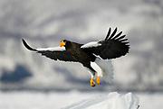Steller's Sea Eagle, Haliaeetus pelagicus, in flight, flying, coming in to land on sea pack ice, Okhotsk Sea, Rausu, Hokkaido, Japan, japanese, Asian, wilderness, wild, untamed, photography, ornithology, snow, bird of prey, Vulnerable