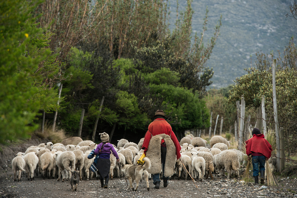 Indian man & sheep<br /> Pulingue San Pablo community<br /> Chimborazo Province<br /> Andes<br /> ECUADOR, South America
