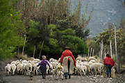 Indian man & sheep<br /> Pulingue San Pablo community<br /> Chimborazo Province<br /> Andes<br /> ECUADOR, South America