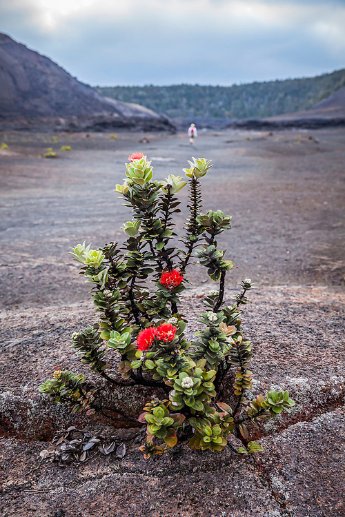 A ʻōhiʻa lehu tree on the crater floor of Kilauea Iki Crater  with Pu'u Pua'i (Gushing Hill) and a person hiking in the distance, April, 2017, Hawai'i Volcanoes National Park, Hawaii, USA.