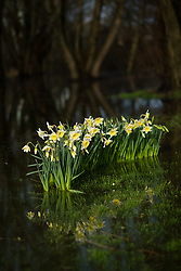 © Licensed to London News Pictures. 01/03/2017. Aberystwyth, Wales, UK. Bright yellow and white Daffodils, the national emblem of Wales bursting into bloom and reflected in a pool of water on a flooded field in Aberystwyth on March 1st, St David's Day (The national  Saints day for Wales). More wintery, cold weather, with strong winds and the risk of snow in places, is forecast for the day. Photo credit: Keith Morris/LNP
