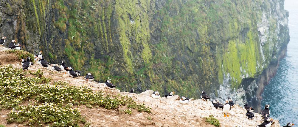 Colony of Puffins - pelagic seabirds, Fratercula, on clifftop in breeding season, Skomer Island, National Nature Reserve, Wales