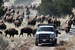 """Bison herd following """"snack"""" truck during bison roundup, Ladder Ranch, west of Truth or Consequences, New Mexico, USA."""