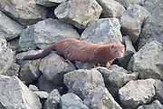 An American mink (Neovison vison) climbs on the rocks above Puget Sound in Anacortes, Washington. Mink are not truly aquatic, but they are good swimmers and are commonly found in riparian, wetland and coastal marine habitats.