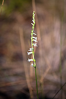 Eaton's Ladies'-tresses are one of the most rare of the terrestrial orchids found in Florida. These were found quite by accident while searching for another almost-as-rare orchid in North Florida near the Gulf Coast.