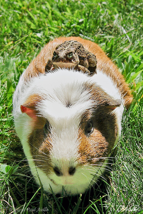 """A common toad  (Bufo bufo) catches a ride on """"Hugs"""" the Guinea Pig (Cavia porcellus)."""