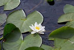White Water Lily growing in the wild on a lochan on North Uist, Outer Hebrides. Nymphaea alba