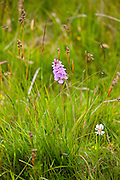Pyramidal Wild Orchid wildflower, Anacamptis Pyramidalis, near Watendlath in the Lake District National Park, Cumbria, UK