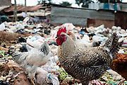 Chicken walk through plastic waste in Kibera slum, Kenya