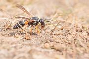Purbeck mason wasp (Pseudepipona herrichii) excavating nest burrow on heathland. Dorset, UK.