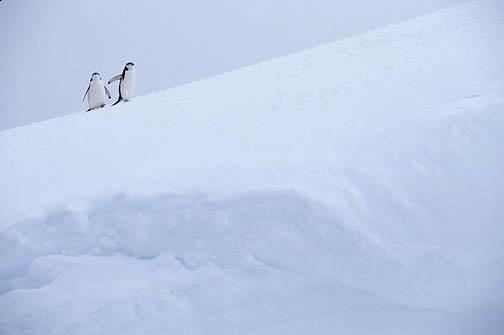 Chinstrap Penguin, (Pygoscelis antarctica) On Candlemas Island. South Sandwich Islands.