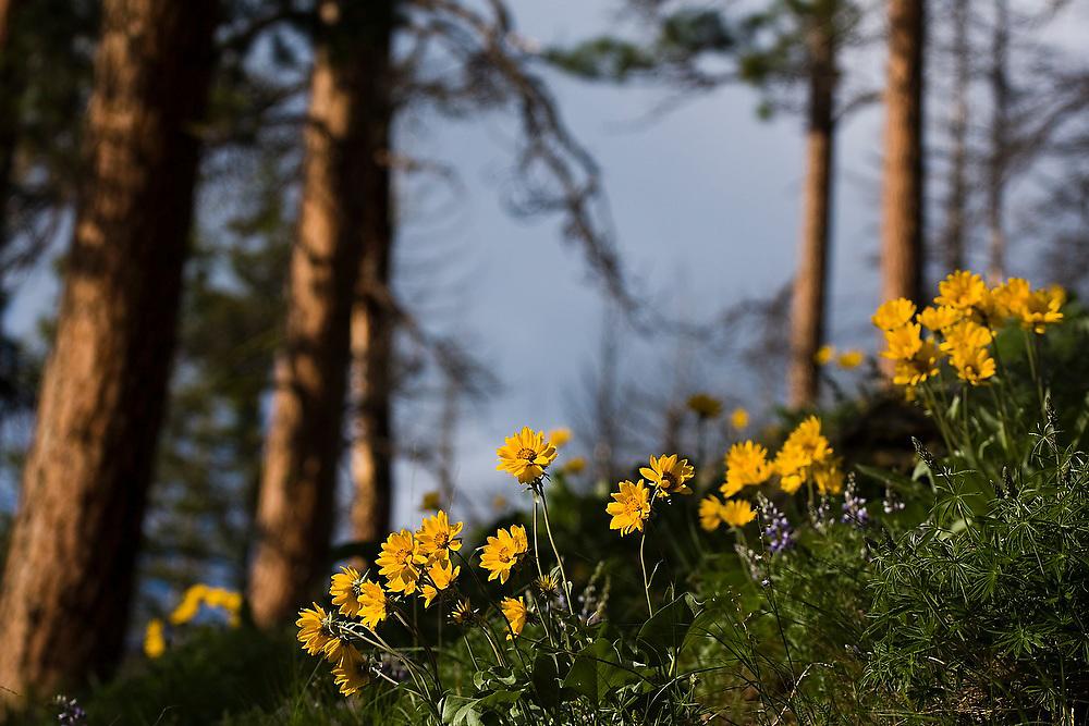 Arrowleaf balsamroot (Balsamorhiza sagittata) flowers grow below a grove of ponderosa pine below Icicle Ridge in the Alpine Lakes Wilderness, Washington.