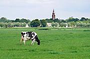 Nederland, Millingen aan de Rijn, 25-5-2020  Dit dorp aan de Duitse grens ligt in de Ooijpolder. Zwartbont koeien  in een weiland. Kerktoren in de achtergrond. Foto: Flip Franssen