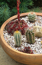 Cacti and Sempervivum - houseleeks -  in a shallow terracotta container