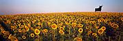 SPAIN, LA MANCHA, AGRICULTURE sunflowers and famous 'Osborne Brandy Bull'