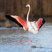 Flamingo landing in the water