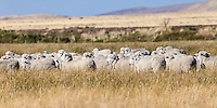 OVEJAS EN UN CAMPO, ESTANCIA LELEQUE, PROVINCIA DEL CHUBUT, ARGENTINA (PHOTO © MARCO GUOLI - ALL RIGHTS RESERVED)