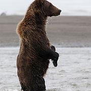 Alaska brown bear standing in water, Alaska