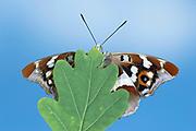Purple Emperor Butterfly, Apatura iris, UK, female, resting on oak leaf, underside of wings open