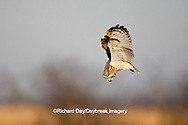 01113-009.08 Short-eared Owl (Asio flammeus) in flight, Prairie Ridge State Natural Area, Marion Co., IL