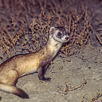 MONTANA, Black-footed ferret.