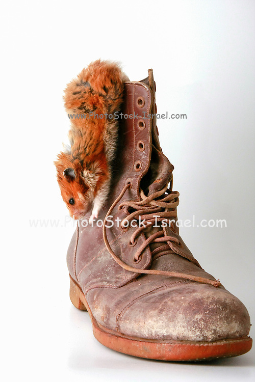 Cutout of a hamster climbing down an old military boot on white background
