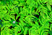 Bunchberry finds an opening underneath a blanket of ferns in Olympic National Park's Hoh Rainforest.
