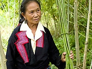 A Hmong woman wearing her traditional clothing holds a bunch of freshly harvest hemp stalks, Ban Long Kuang, Houaphan, Lao PDR. Making hemp fabric is a long and laborious process; the end result is a strong durable cloth with qualities similar to linen which the Hmong women use to make their traditional clothing. In Lao PDR, hemp is now only cultivated in remote mountainous areas of the north.