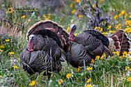 Tom turkeys in breeding plumage in Great Basin National Park, Nevada, USA