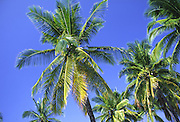 Coconut palm tree, Hawaii<br />