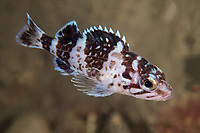 Japanese rockfish, Sebastes cheni, juvenile, Zhifu Island (Chinese: 芝罘島), Shandong Province, China, byt the Bohai Sea, that is the inner part of the Yellow Sea where both the Yellow River and Hai He flow into.<br /><br />Conservation: The Yellow Sea is one of the most threatened marine areas on earth. Land reclamation has destructed more than 60% of tidal wetlands in only 50 years. Rapid coastal development for agriculture, aquaculture and industrial.development are primary drivers of coastal destruction in the region. In addition pollution, harmful algal blooms, invasion of introduced species are having a negative effect. There are 25 intentionally introduced species and 9 unintentionally introduced species in the Yellow Sea marine ecosystem.