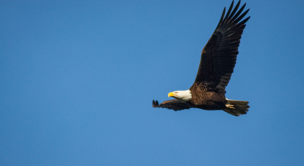 A bald eagle flies against a blue winter sky near its nest along the May River.