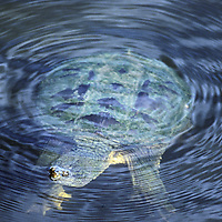 A common snapping turtle (Chelydra serpentina) floats in a shallow bay in Lake of the Woods, Ontario, Canada.