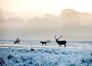 © Licensed to London News Pictures. 06/11/2014. Richmond, UK. Deer stand on hard frosty ground.  People and animals during a frosty start to the day on 6th November 2014. Temperature fell across the country overnight. Photo credit : Stephen Simpson/LNP
