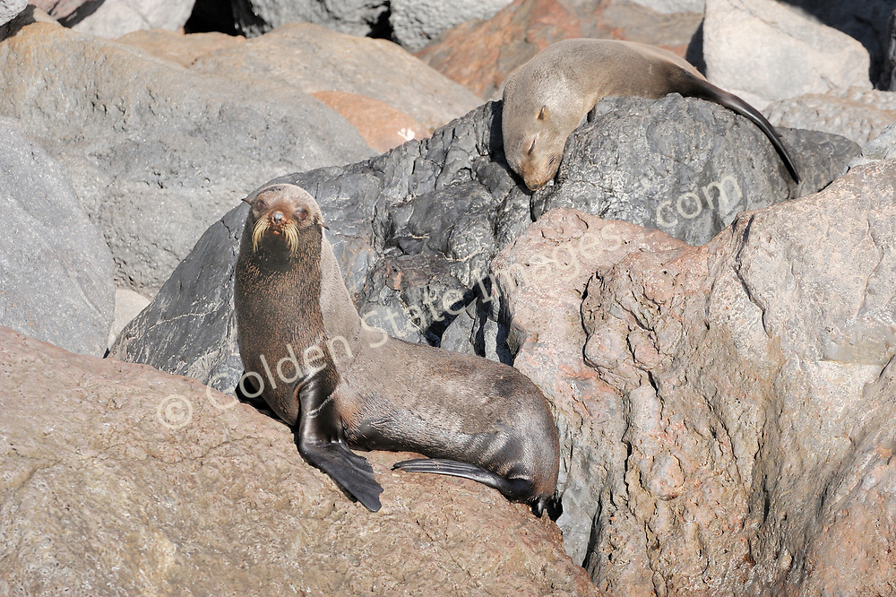 Two fur seal lounging in the sun on the rocky shoreline of Guadalupe Island.    <br /> <br /> By the late eighteen hundreds had been hunted nearly to extinction. Still rarely seen other than at Guadalupe and San Benitos Islands Baja Mexico.    <br /> <br /> Range: Channel Islands to Cedros Island Baja Mexico    <br /> <br /> Species: Arctocephalus townsendi