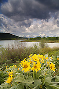 Mount Moran and Arrowleaf Balsamroot at the Oxbow Bend, Grand Teton National Park, Wyoming.