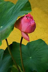 Lotus, nelumbo, dark pink #12