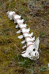 Elk Vertebrae,  Mt. St. Helens National Volcanic Monument, Washington, US