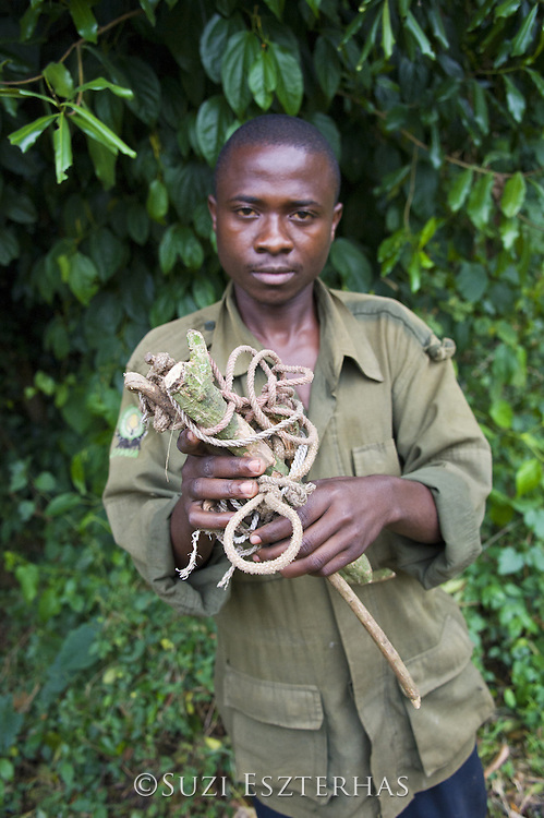 Chimpanzee<br /> Pan troglodytes<br /> Anti-poaching ranger with confiscated snare<br /> Tropical forest, Western Uganda