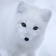 Artic Fox (Alopex lagopus) on frozen ice of the Hudson Bay in Churchill, Manitoba, Canada.