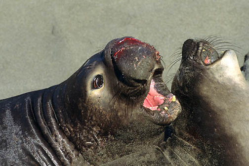 Northern Elephant Seal, (Mirounga angustirostris)  Young male with bloody nose from challenging another male. California.
