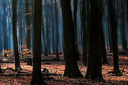 Hazy conditions create and almost fairytale like atmosphere in the forest in early winter.