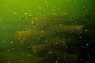 Underwater Scene-Fish crib with juvenile bluegills<br /> <br /> ENGBRETSON UNDERWATER PHOTO